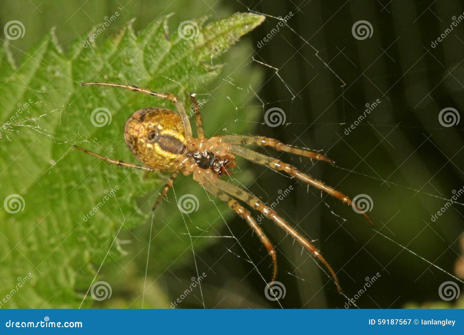 Zakończenie, makro- fotografia pająka obsiadanie w swój sieci