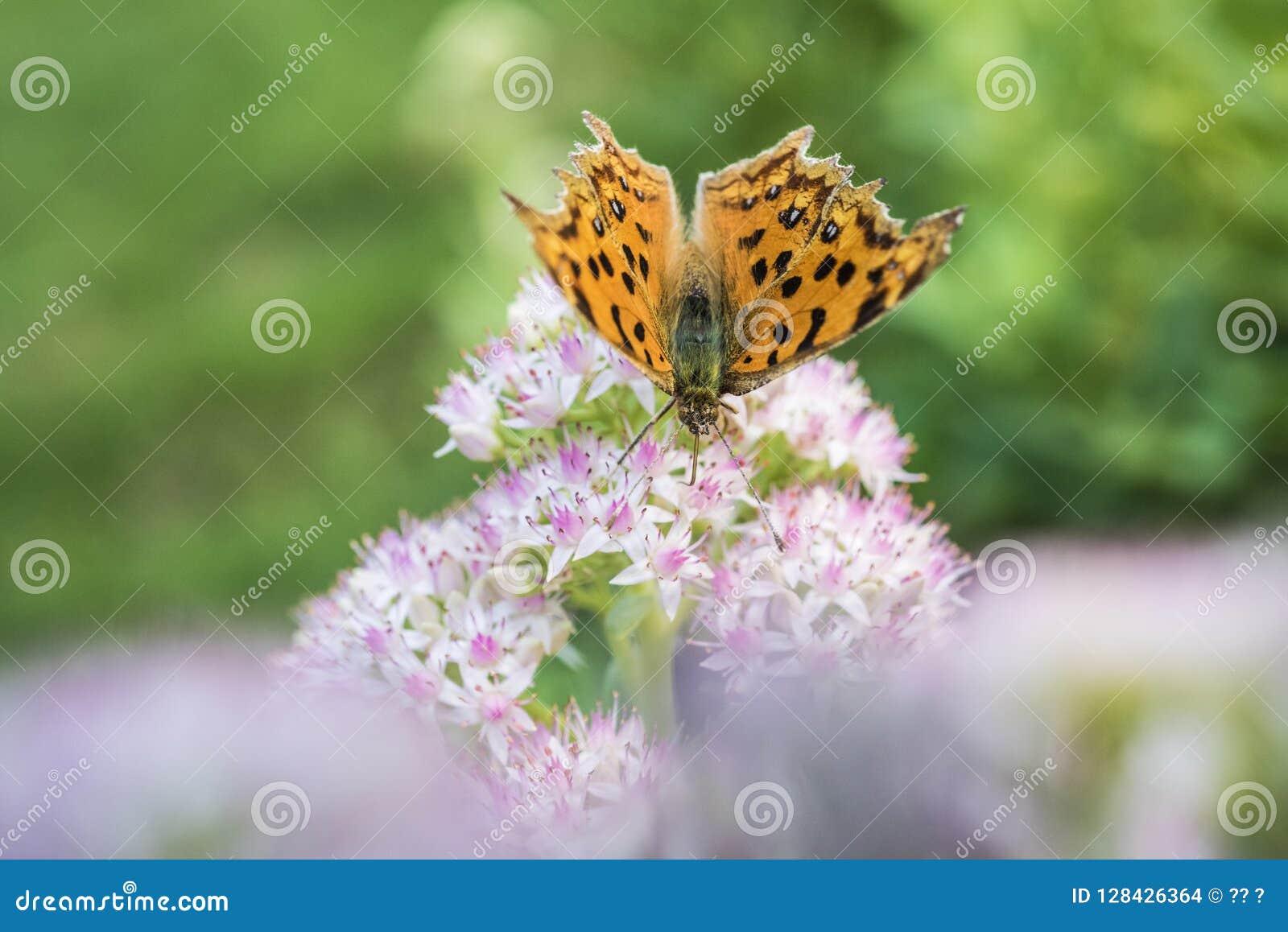 Zakończenie motyl z małymi białymi kwiatami z lekkimi czerwonymi kropkami