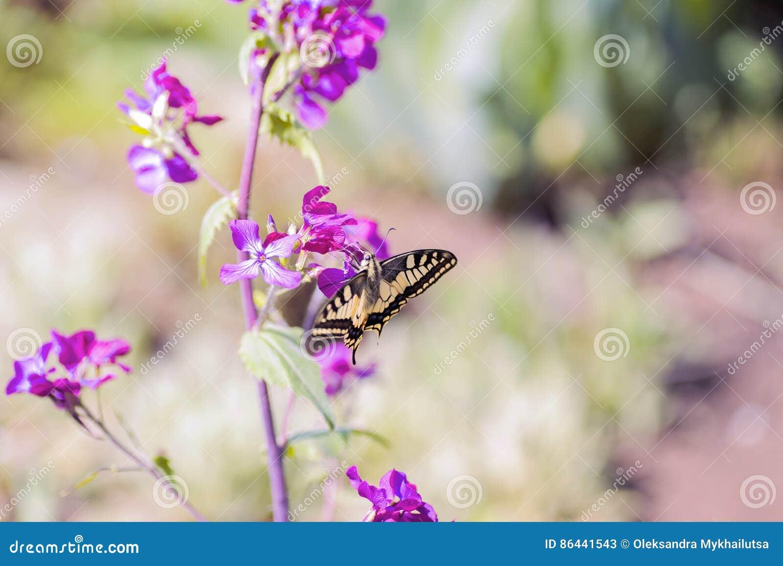 Zakończenie motyli Swallowtail na kwiatach w ogródzie