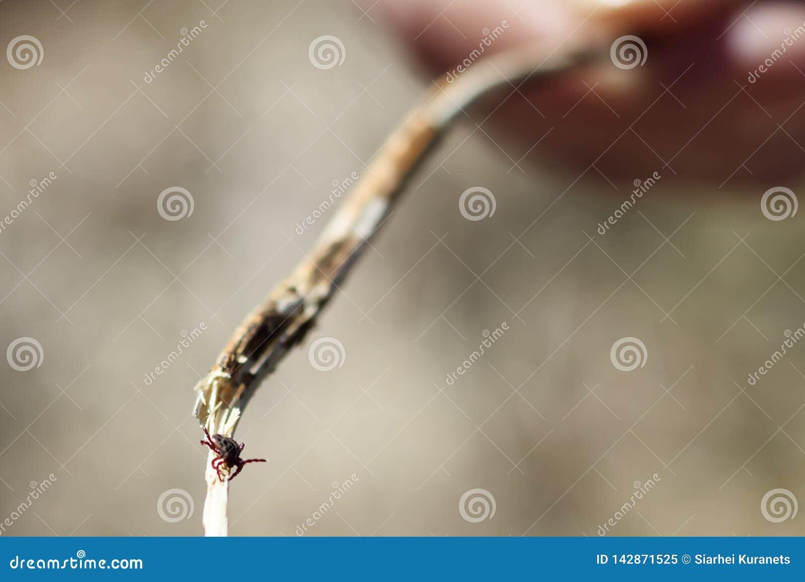 Zakończenie Niebezpieczny darmozjada i infekcja przewoźnika lądzieniec obsiadanie na zielonym liściu