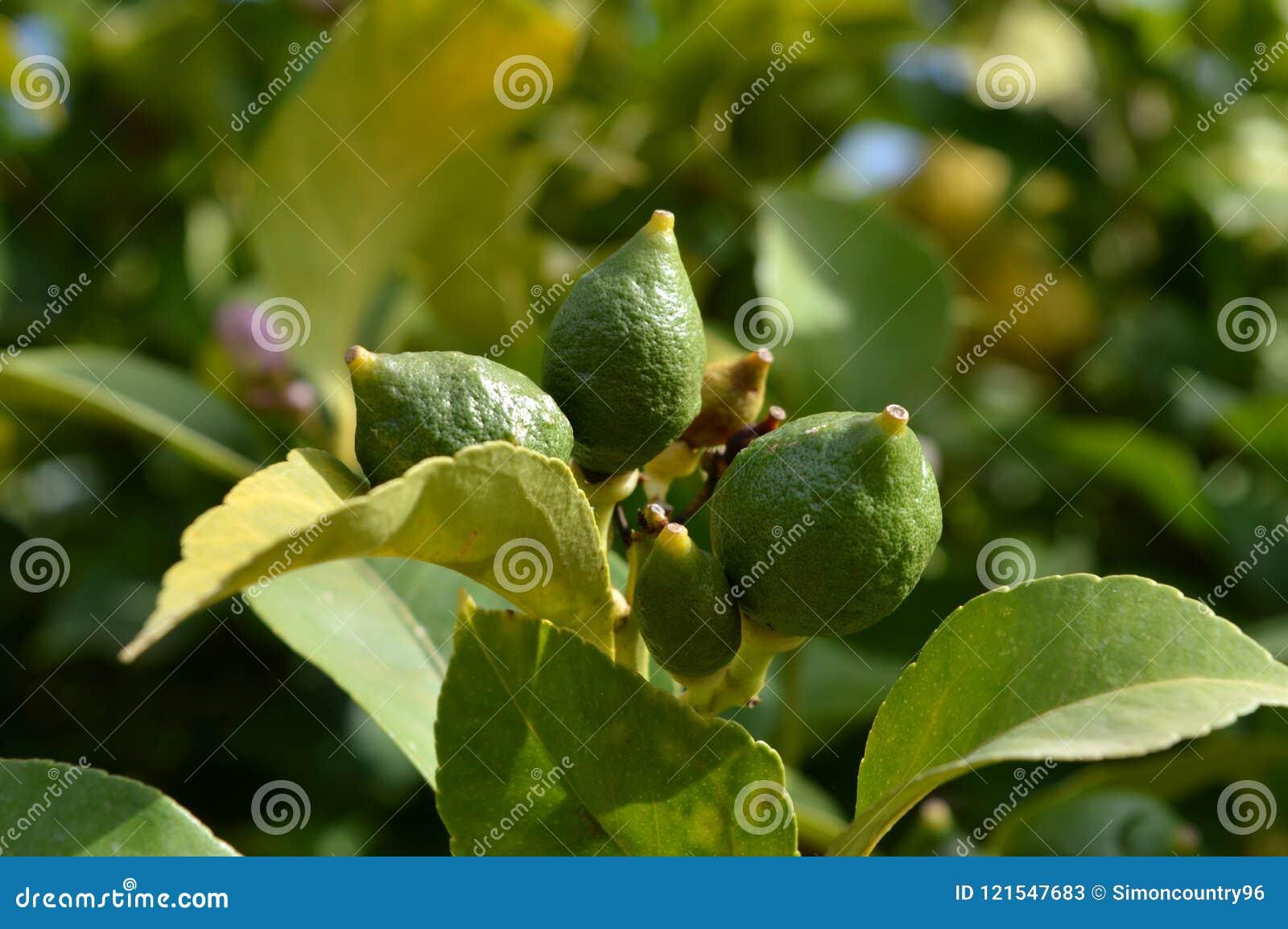 Zakończenie Niedojrzałe cytryny, natura, Makro-
