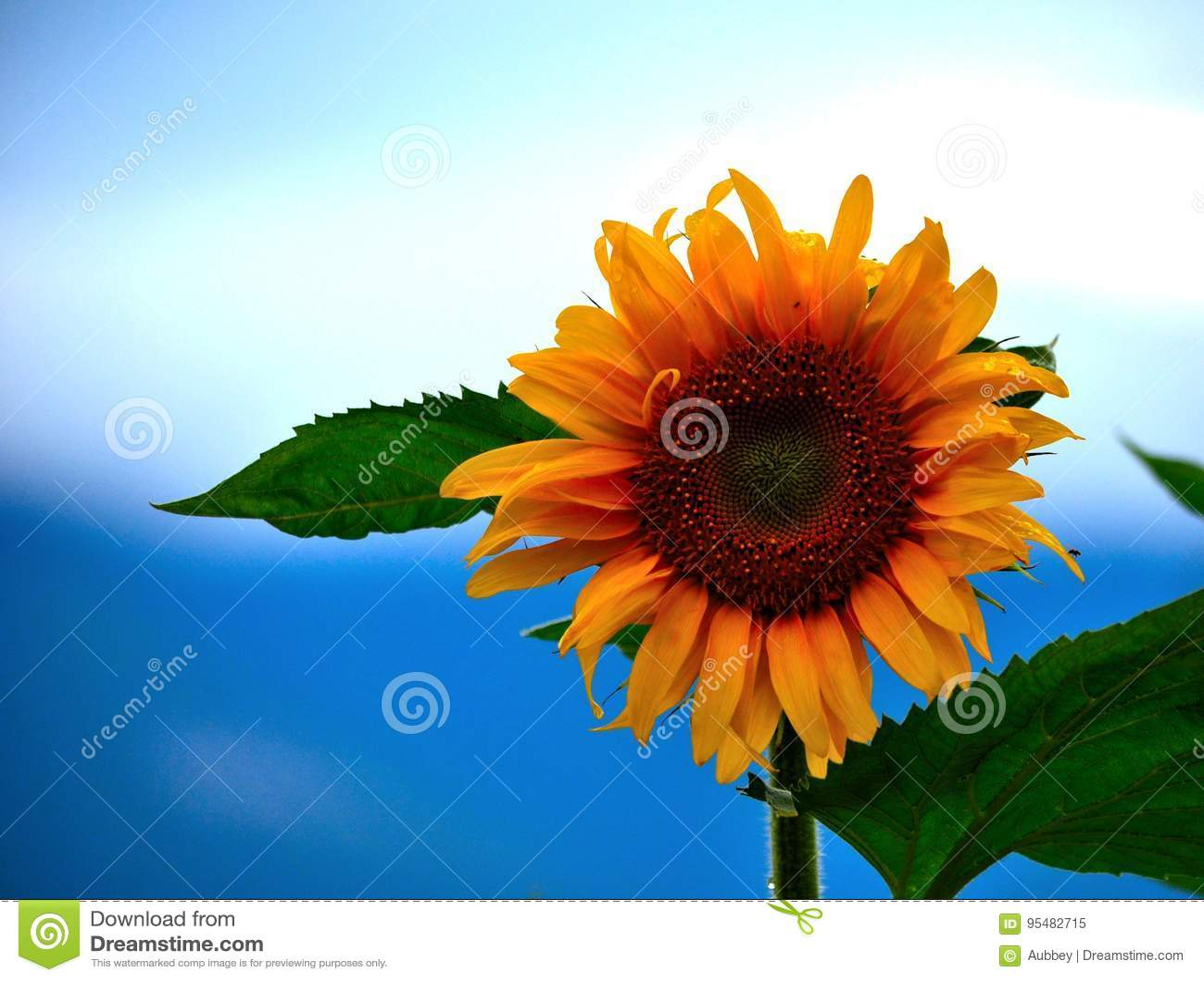 Zakończenie słonecznik