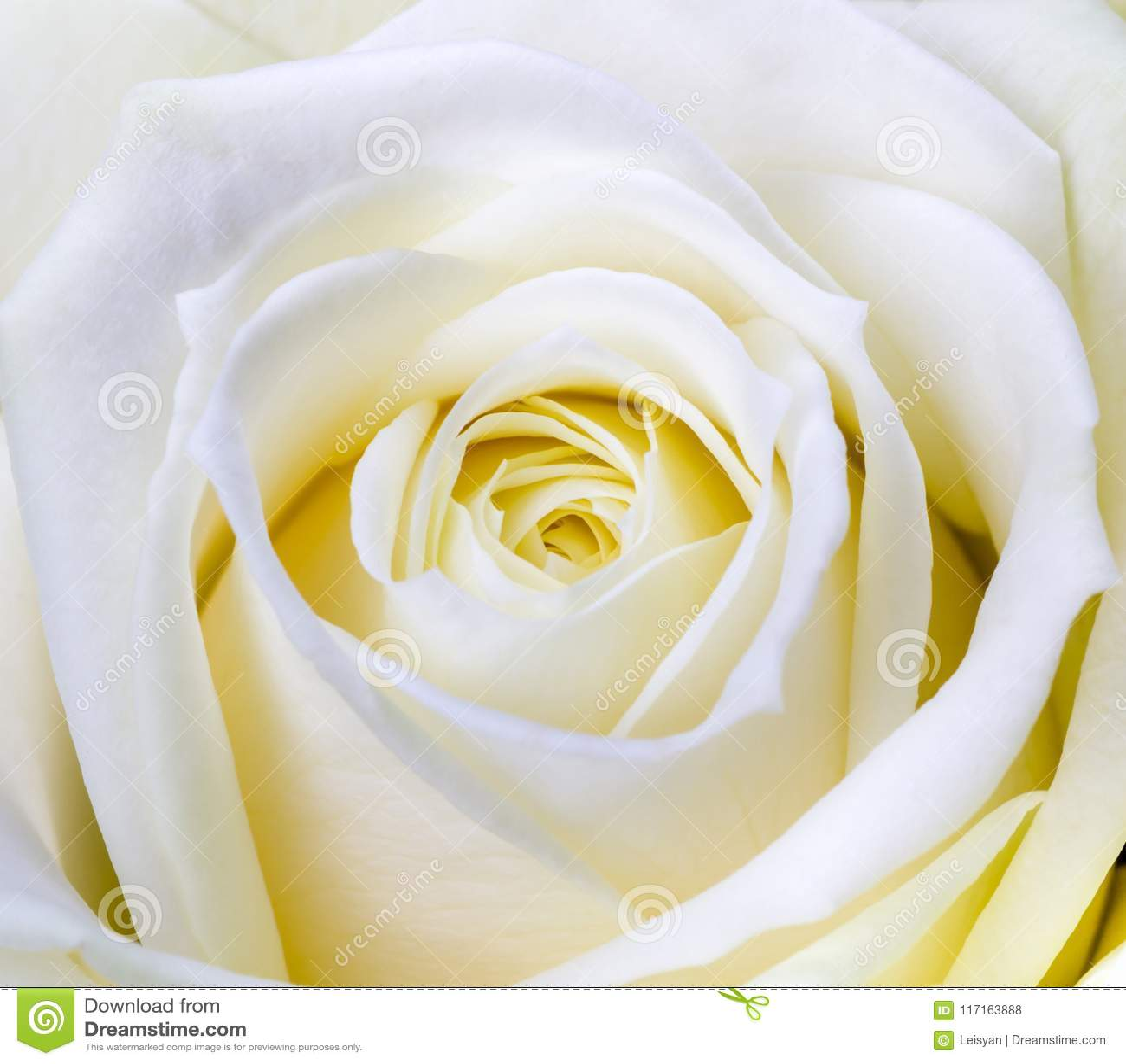 Zakończenie strzał biel róża