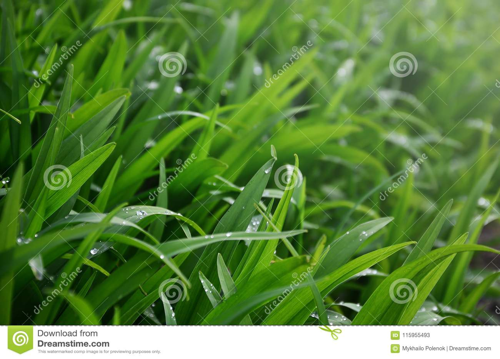 Zakończenie strzał zwarci trawiaści trzony z rosa kroplami Makro- strzał mokra trawa jako tło wizerunek dla natury concep