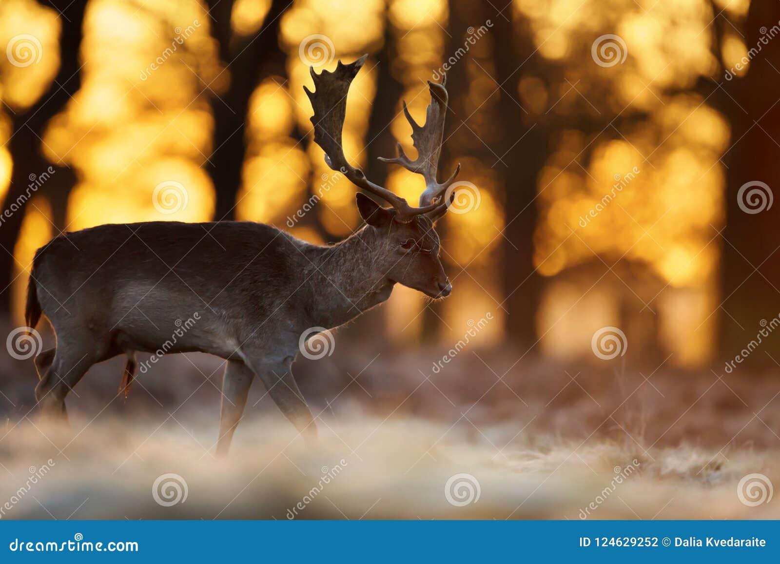 Zakończenie ugoru rogacza jelenia odprowadzenie przeciw powstającemu słońcu