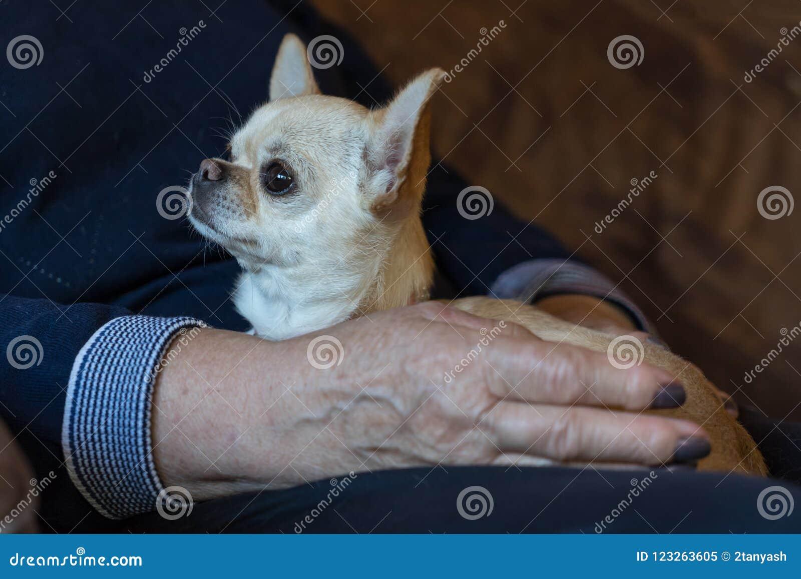 Zakończenie up chihuahua pies na kobiety ręce