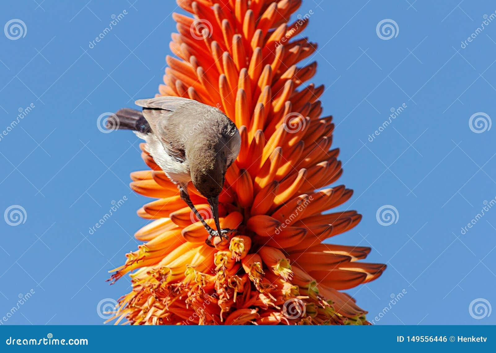 Zakończenie w górę aloesu pomarańczowego kwiatu ptaka na błękitnym tle i