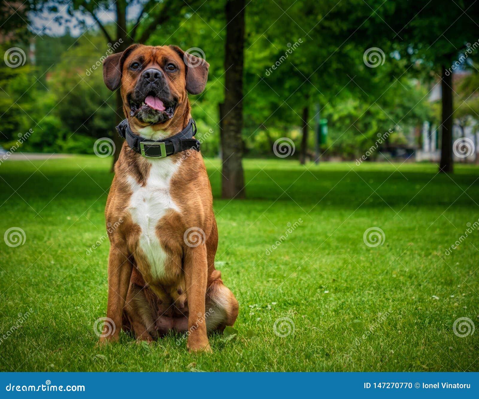 Zakończenie w górę boksera psa obsiadania w jawnym parku