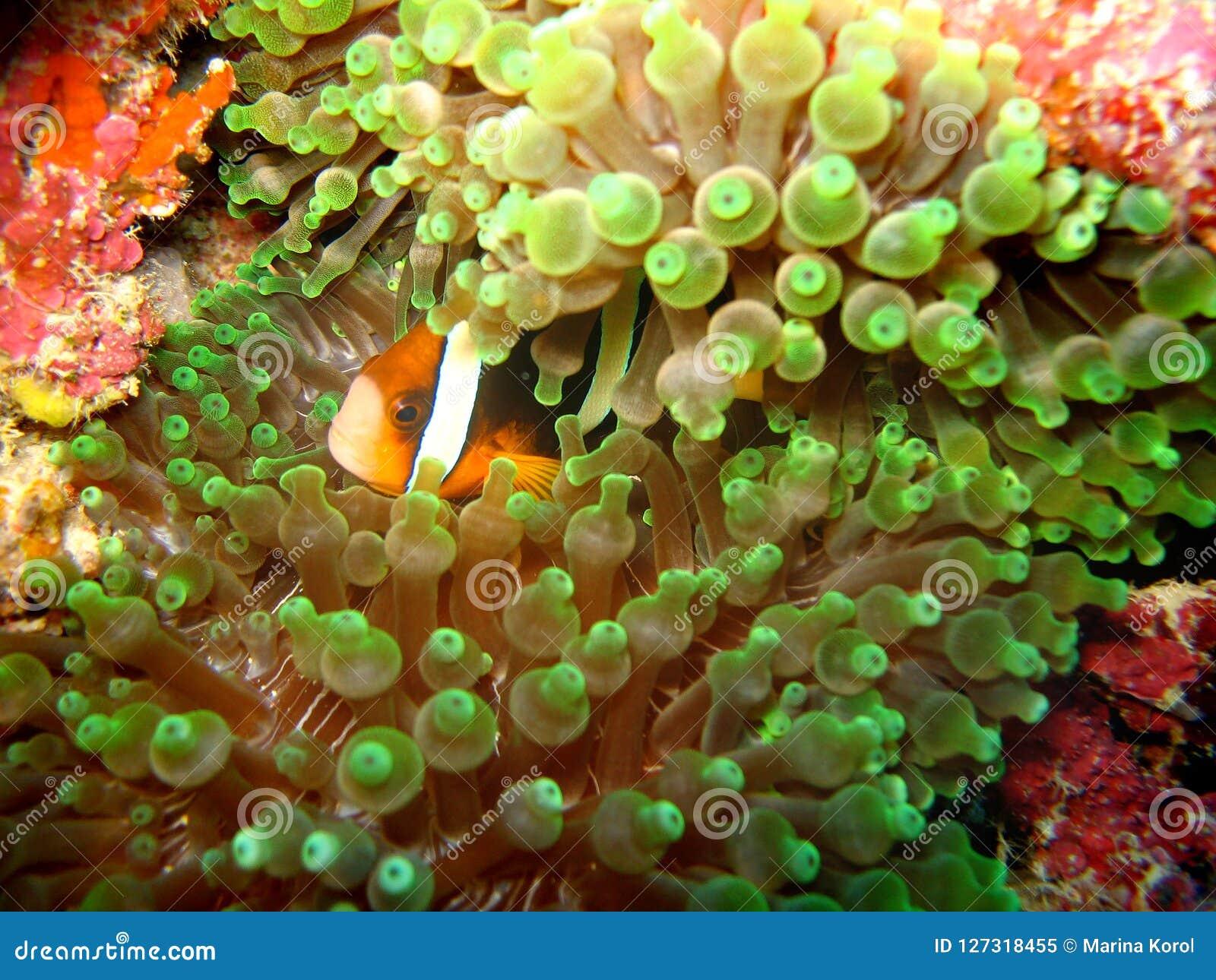 Zakończenie w górę fotografii anemon i błazen ryba która jest pojawiać się formą roślina Zielony anemon i czerwona błazen ryba