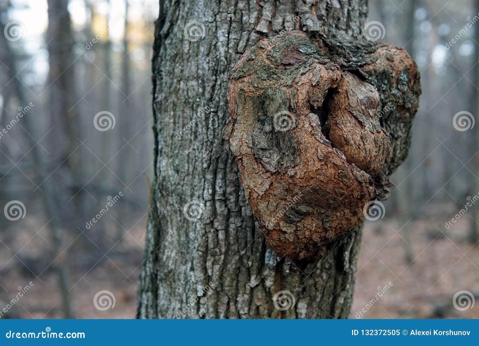 Zakończenie w górę gnarl na barkentynie drzewo
