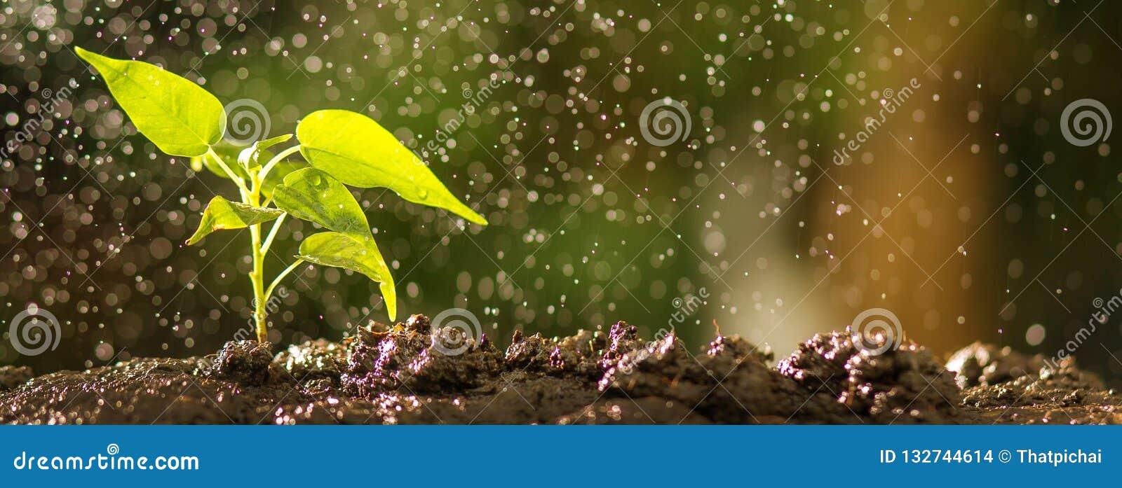 Zakończenie w górę młodego drzewa na ziemi z wody kropli skutkiem Narastający ziarno i flancowania pojęcie, sztandar z copyspace