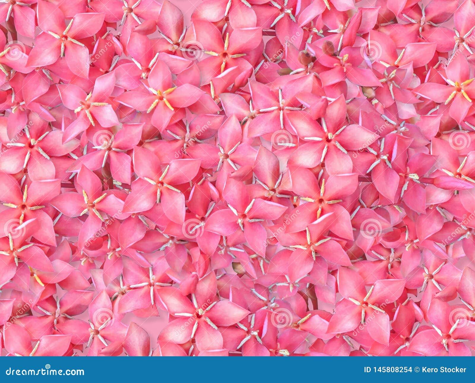 Zakończenie w górę nagłego strzału kolca pięknego Czerwonego kwiatu chinensis, czerwony Ixora okwitnięcie jest kwiatem