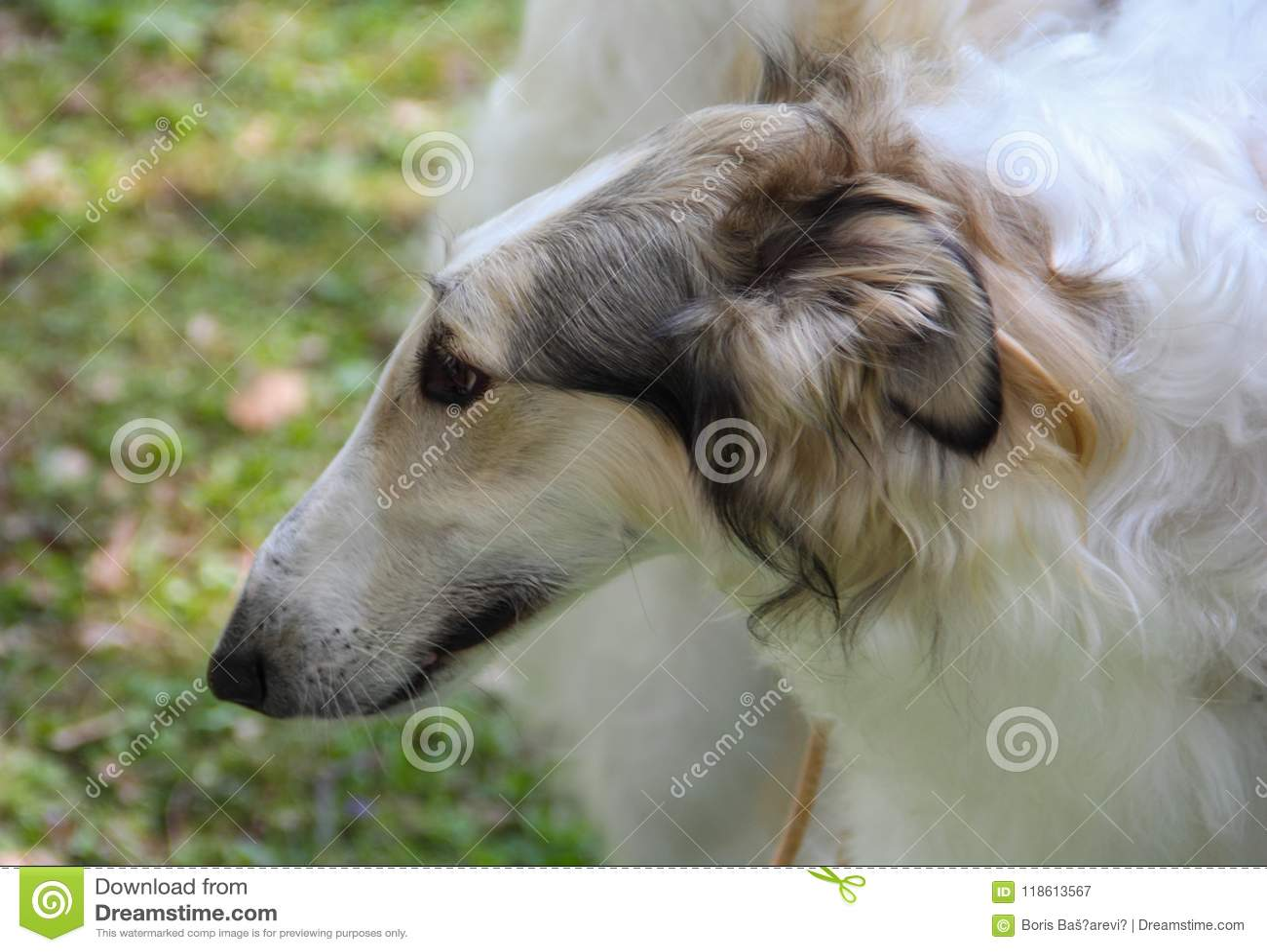 Zakończenie w górę portreta biały rosjanina psa Borzoi