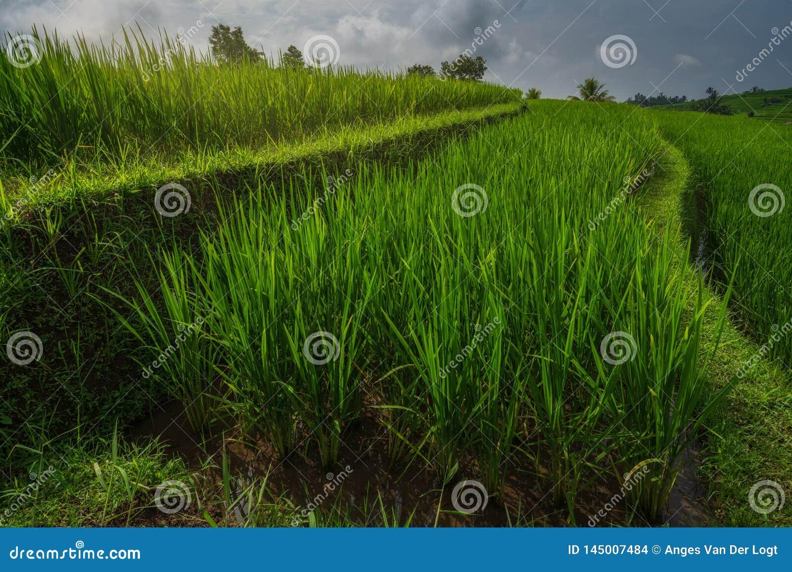 Zakończenie w górę ryżowych tarasów Jatiluwih