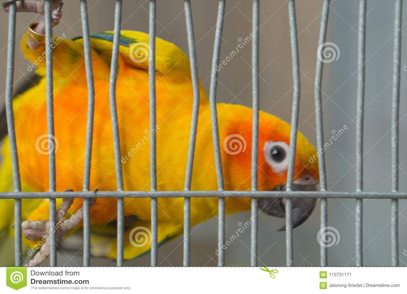 Zakończenie wizerunek żółta papuga w klatce