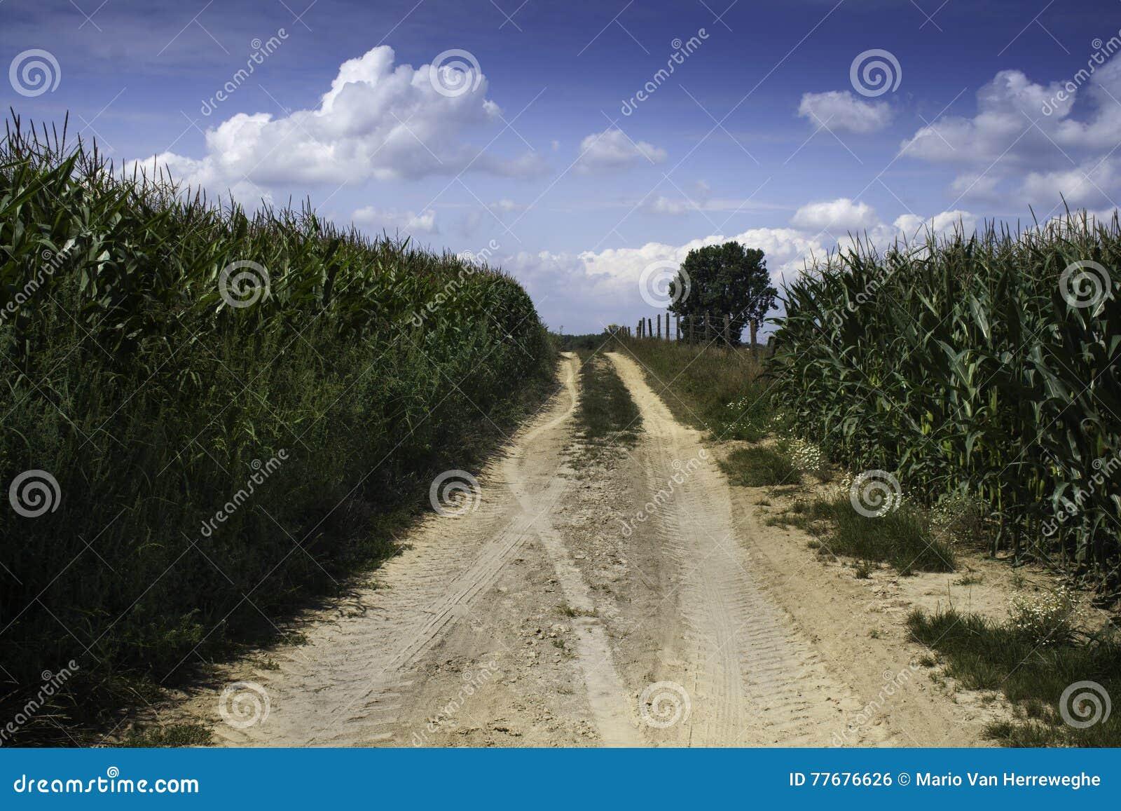 Zakurzona ścieżka między kukurudzą