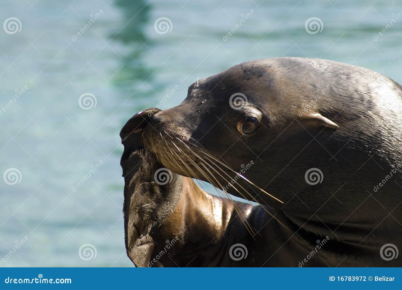 Zalophus θάλασσας λιονταριών californian