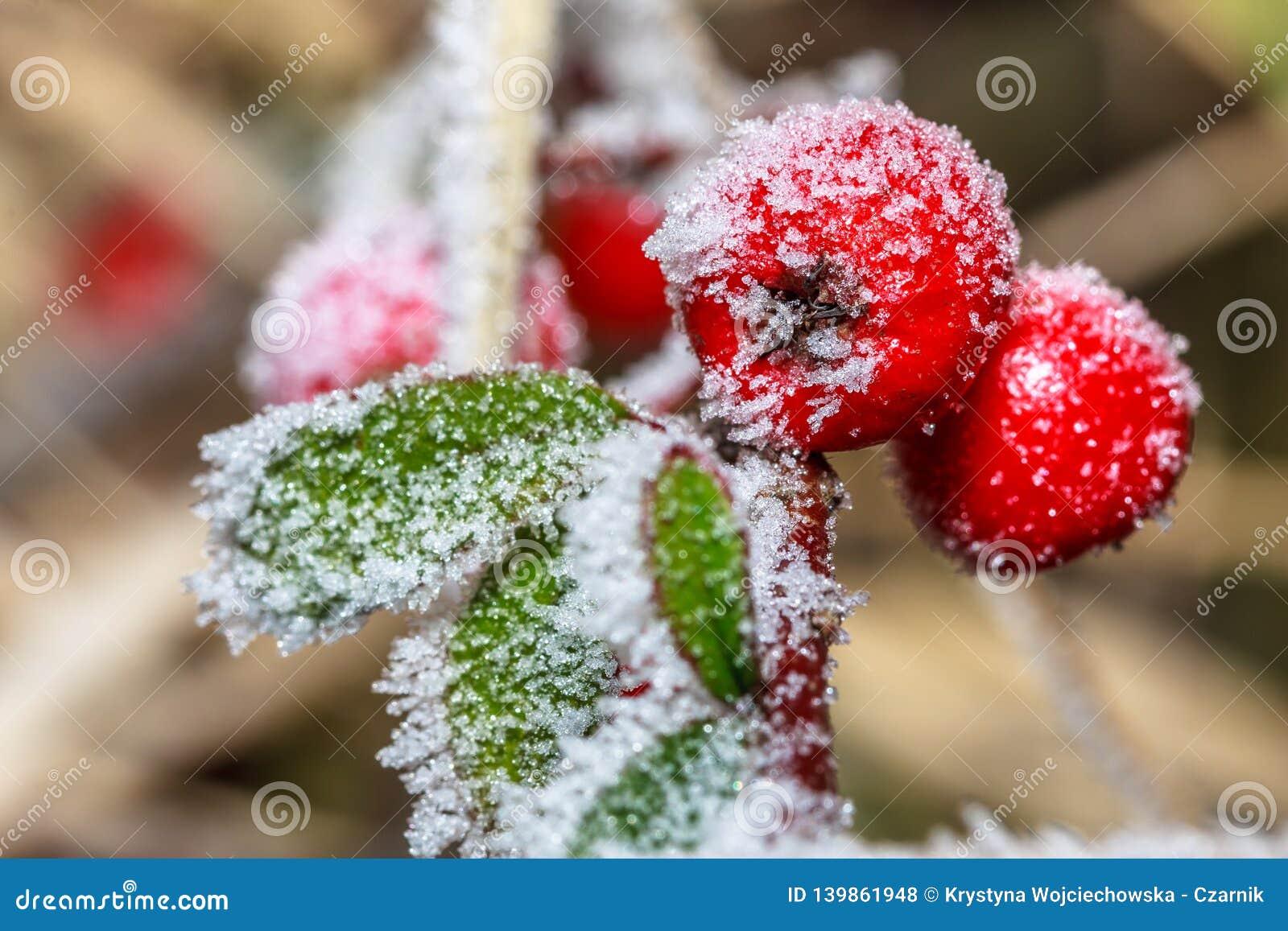 Zamarznięty uświęcony berrie