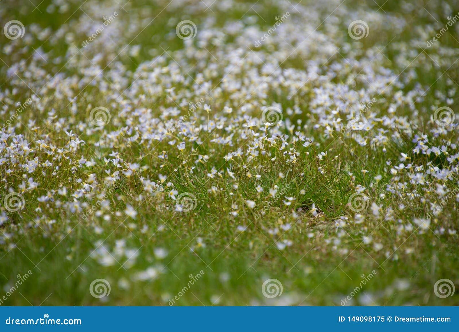 Zamazany wizerunek mali biali kwiaty w?r?d trawy