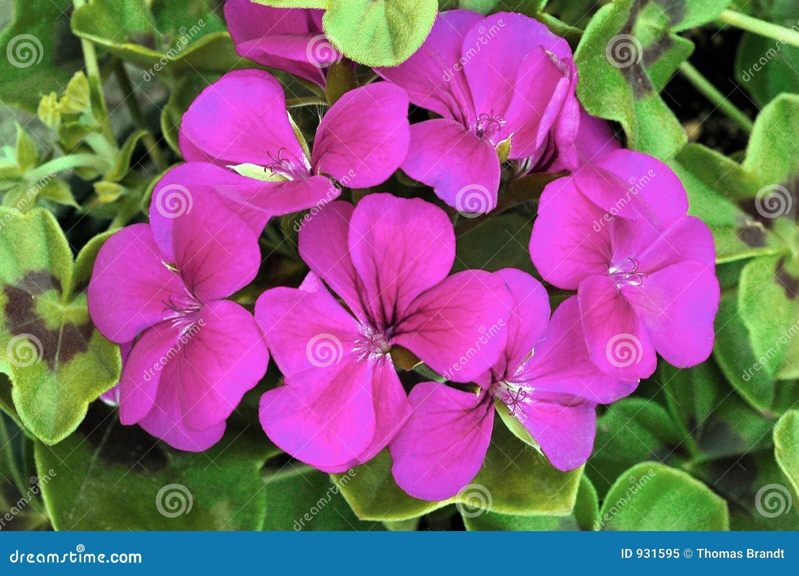 Zamieć pelargonium purpurowy