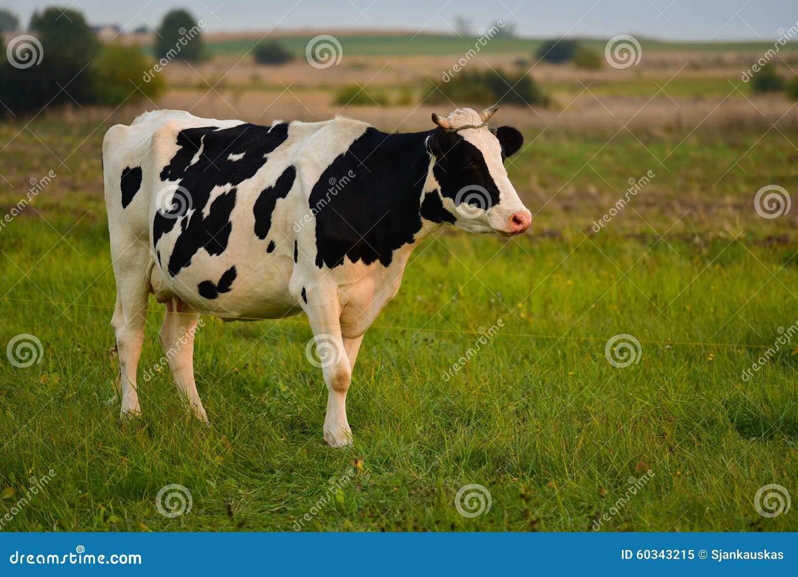 Zamknięta krowy nabiału głowa s zamknięty
