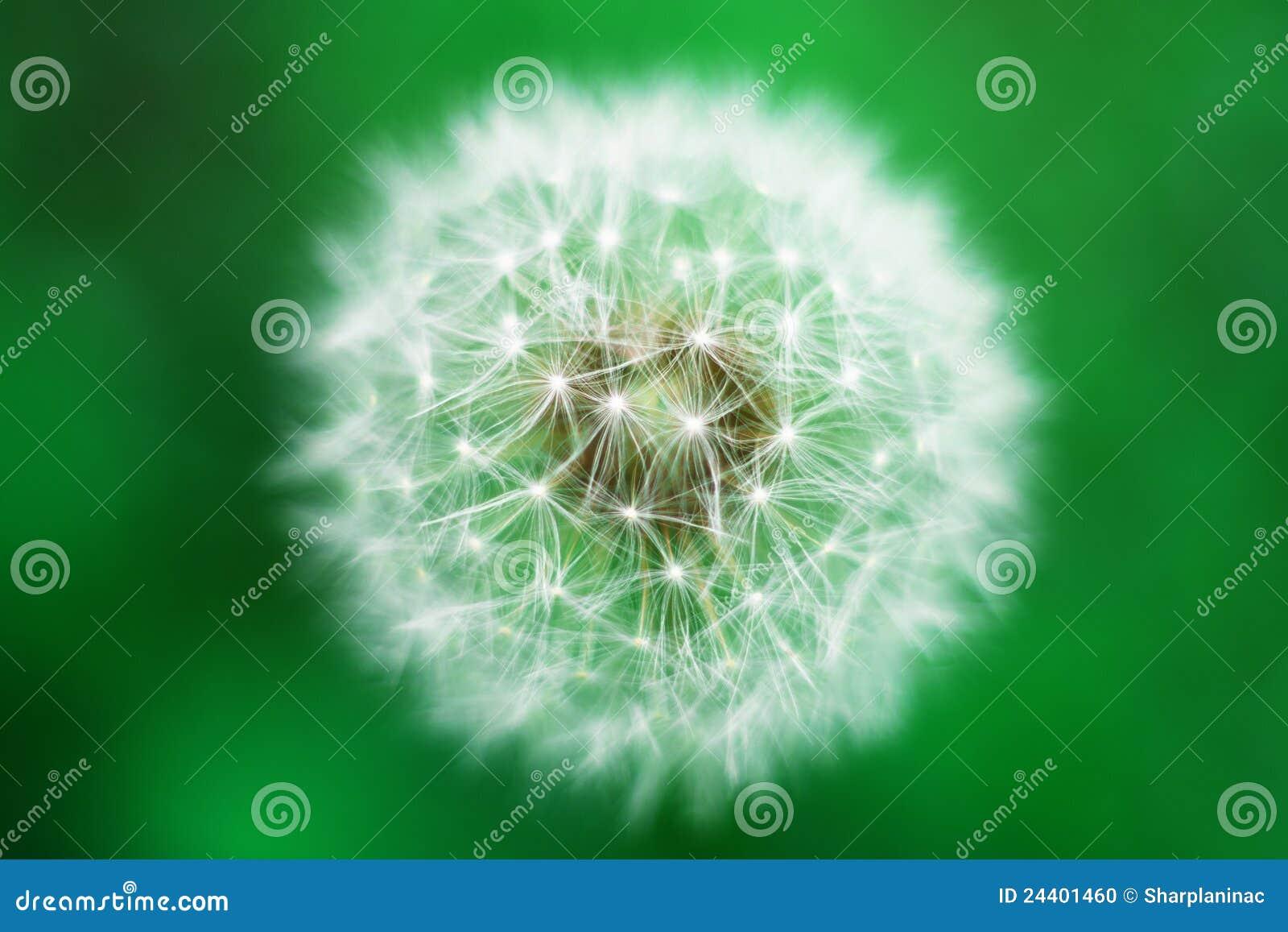 Zamknięty dandelion zamknięty kwiat