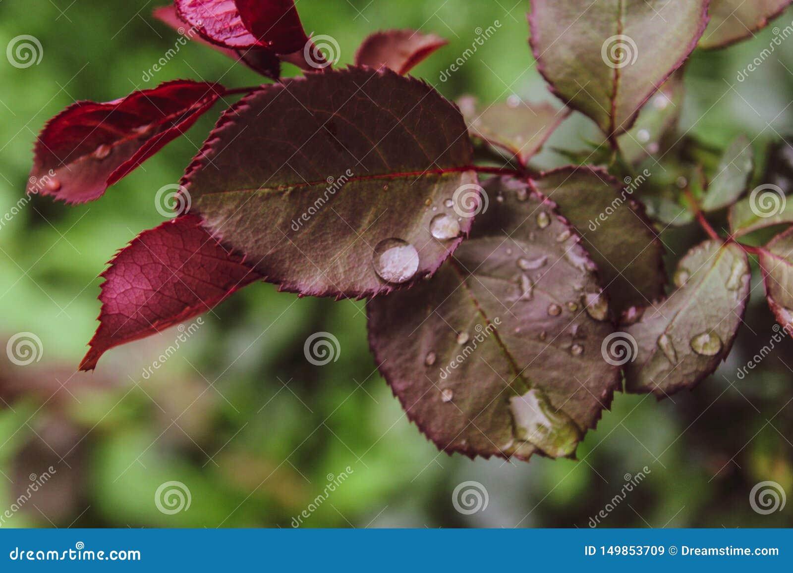 Zamknięty Piękny róża liścia wody deszczu kropel letniego dnia zieleni tło