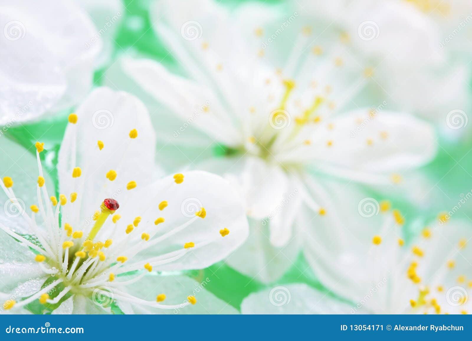 Zamknięty zamknięci wiśnia kwiaty