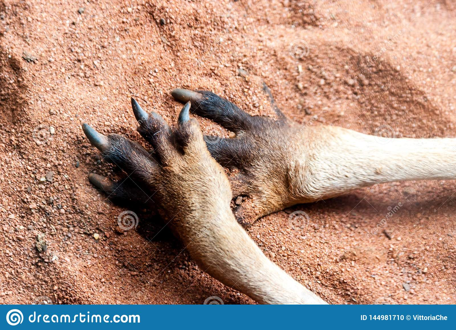 Zampe del canguro sulla sabbia Chiuda sull immagine L Australia, isola del canguro