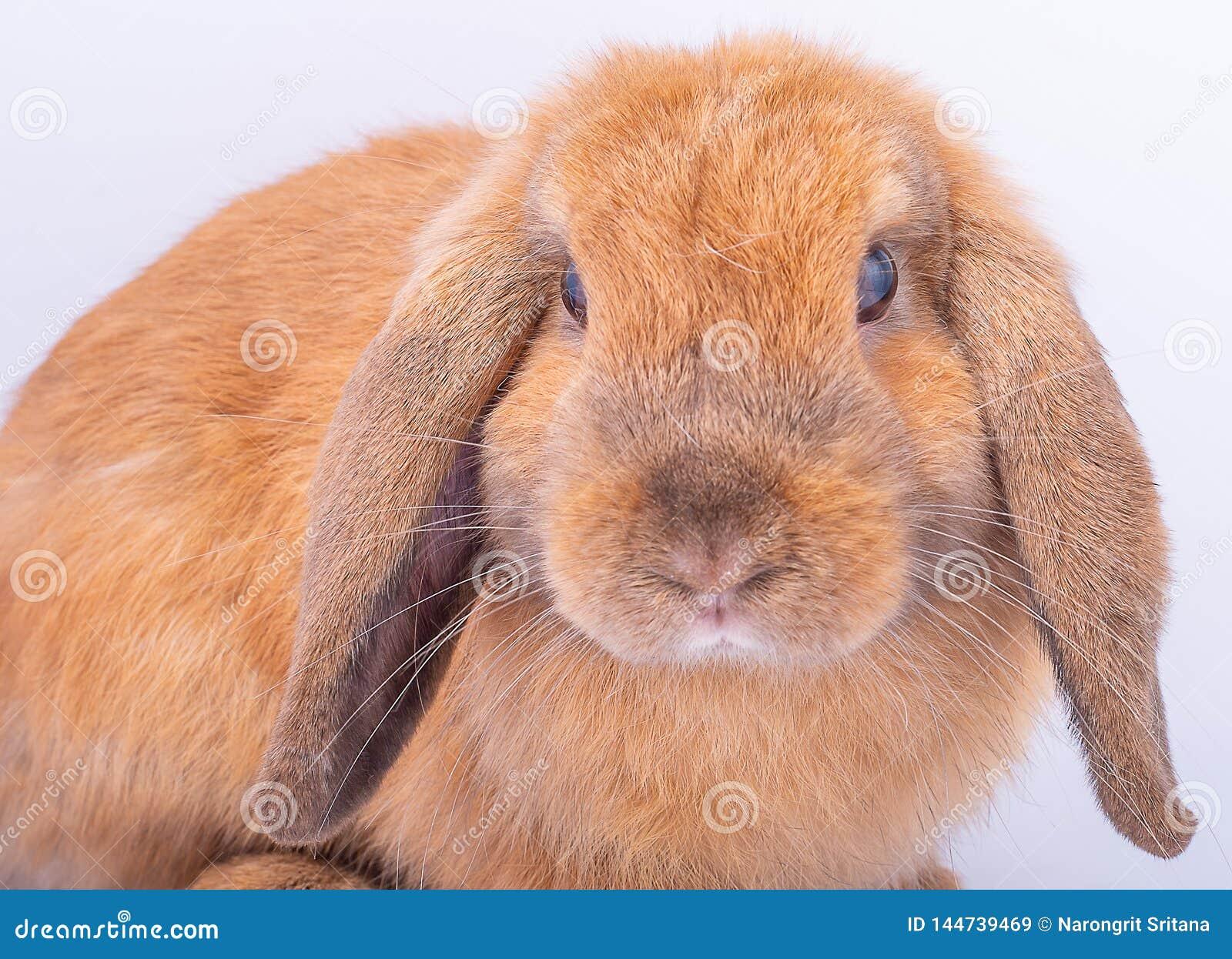 Zamyka do twarzy mały brązu królika królik z długimi ucho na białym tle