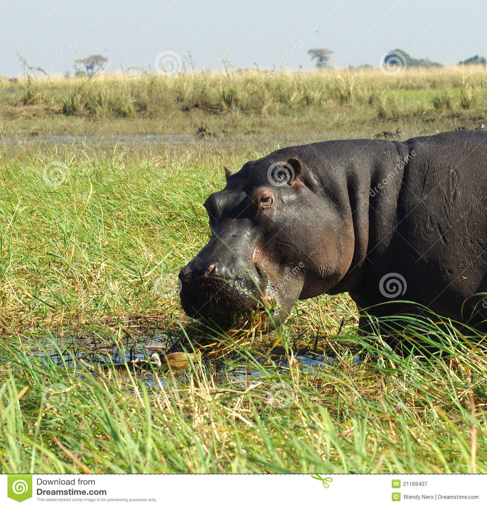 Zamyka hipopotama hipopotam