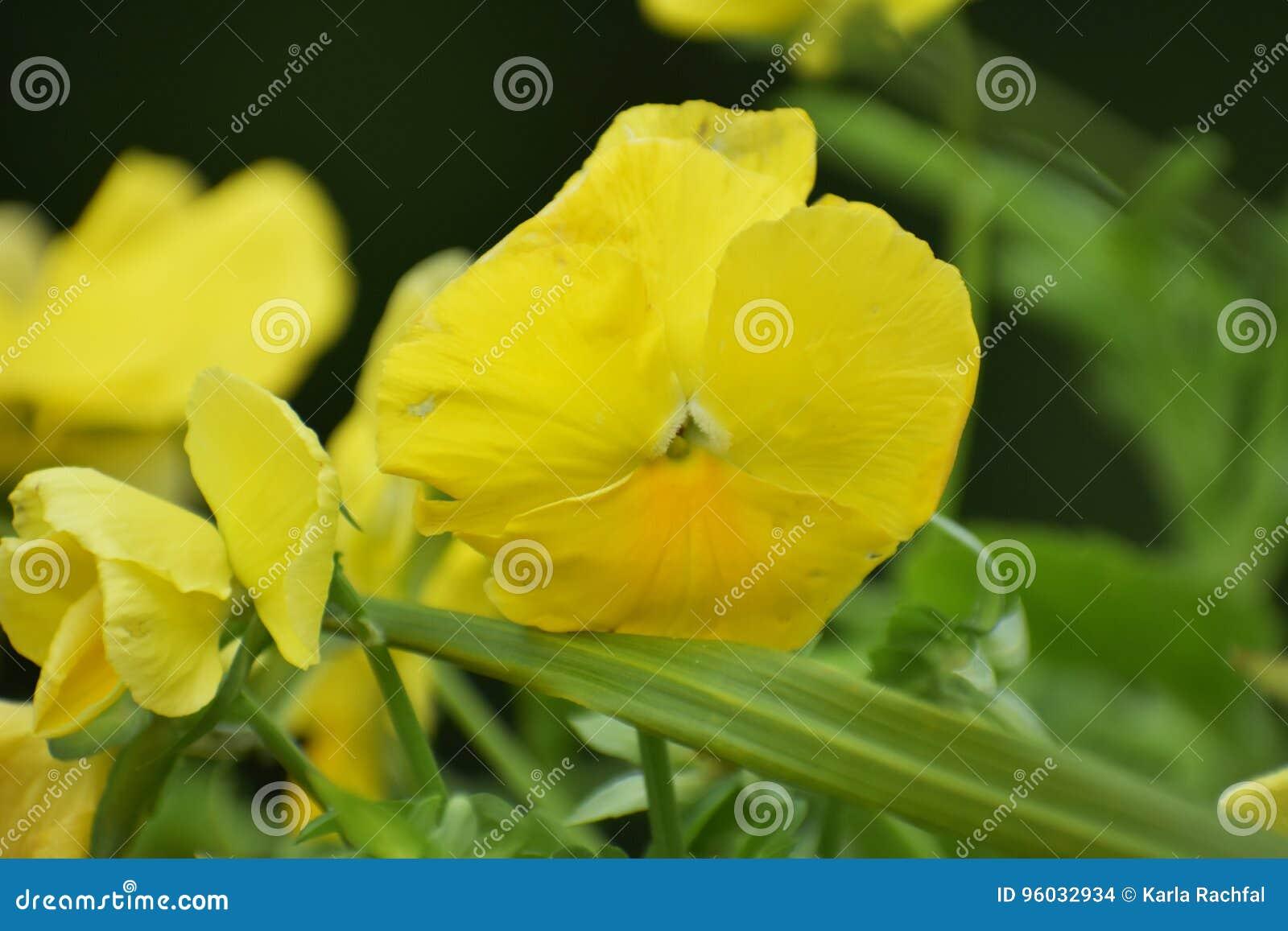 Zamyka up Żółte flory