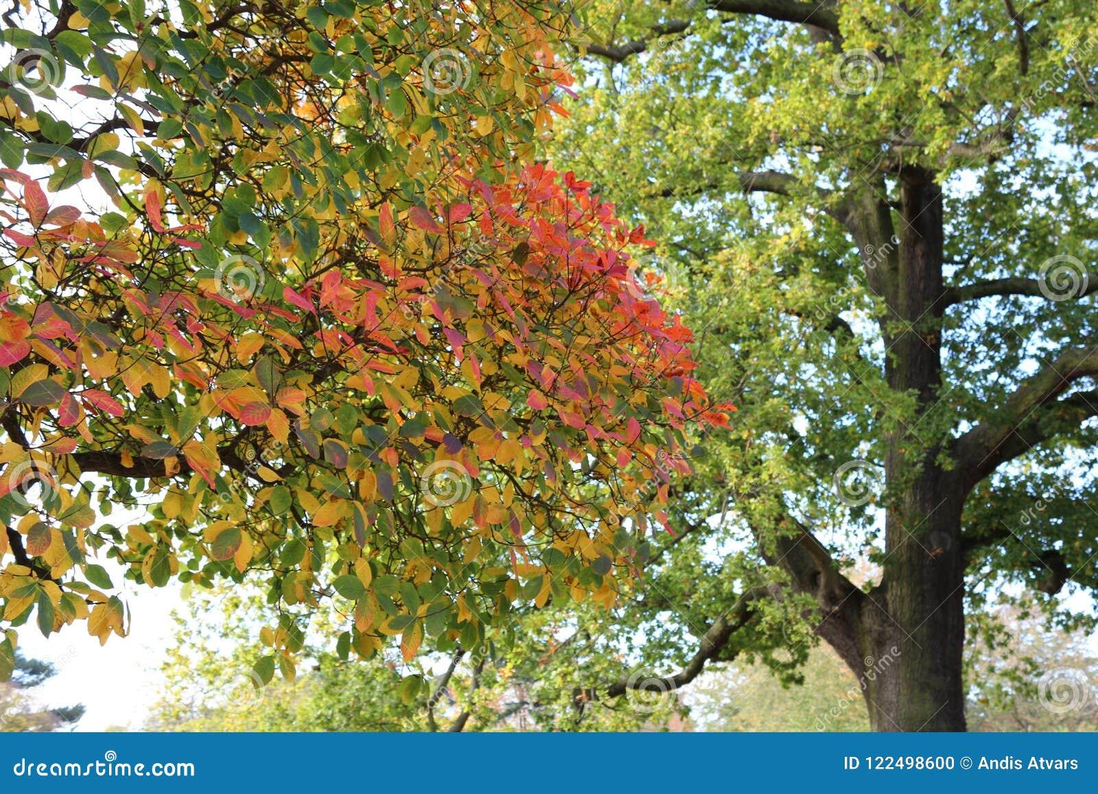 Zamyka up ładnej jesieni kolorowi liście, majestatyczny dębowy drzewo