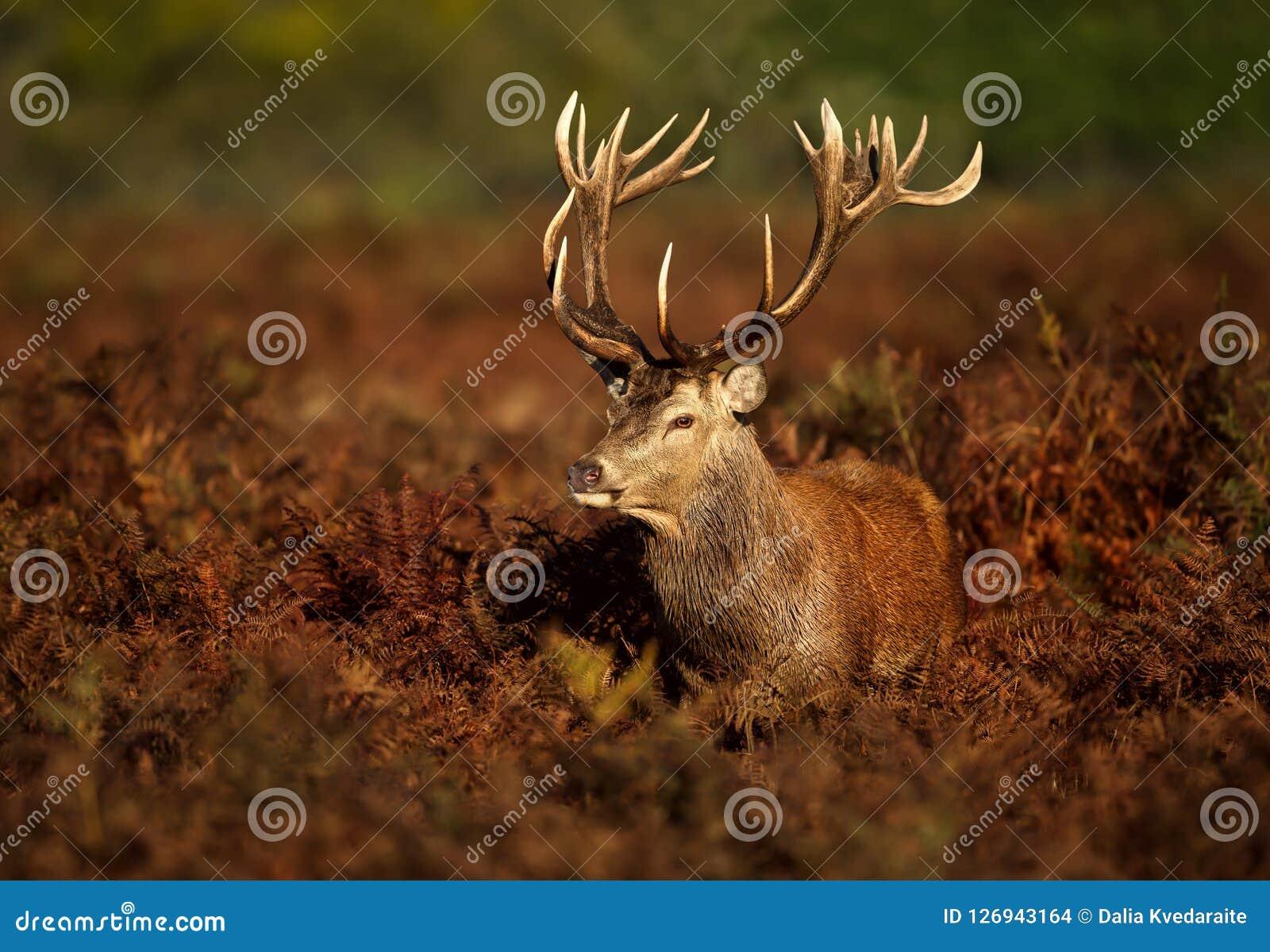 Zamyka up czerwonego rogacza jeleń
