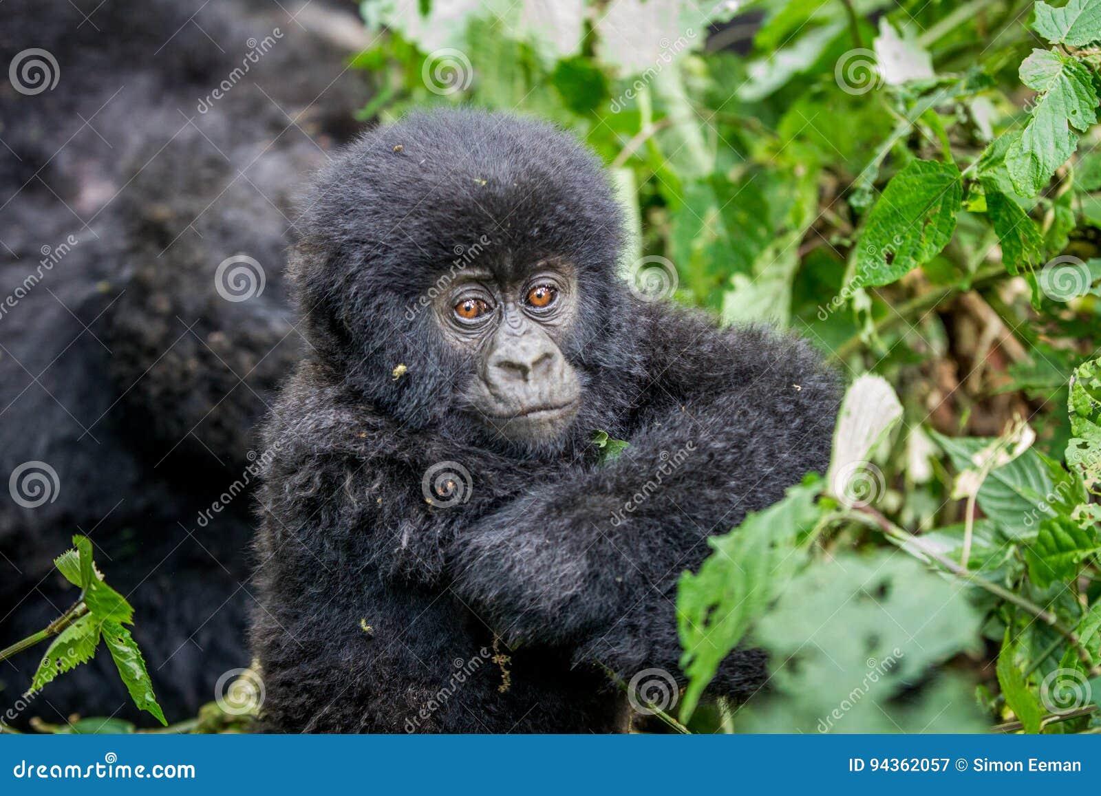 Zamyka up dziecko Halny goryl