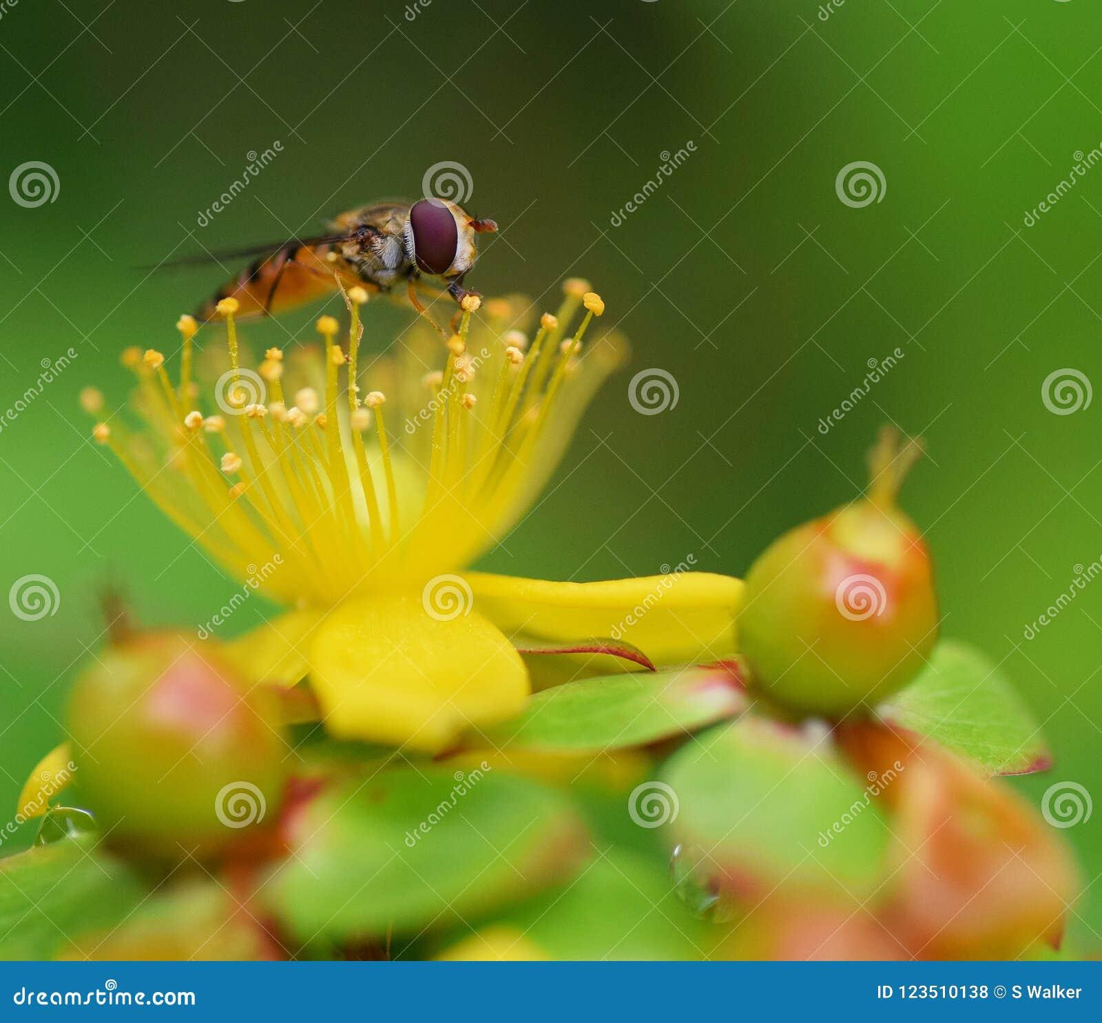 Zamyka up hoverfly brać nektar od piętna hypericum st Johns wort