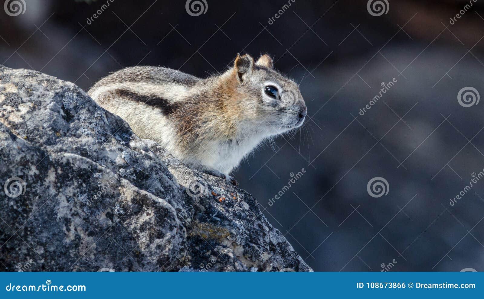 Zamyka up mały chipmunk umieszczający na skale