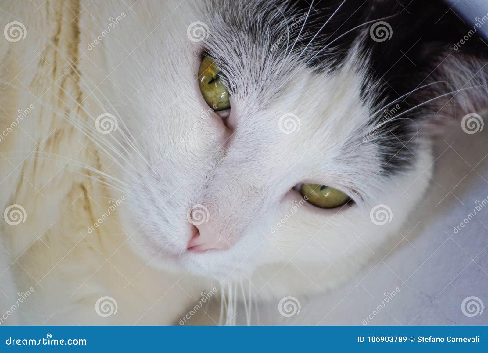 Zamyka up sypialnego piękna bielu kot