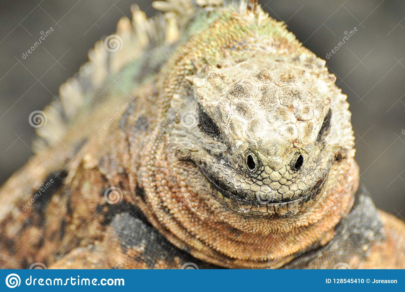 Zamyka up uśmiechnięta iguana