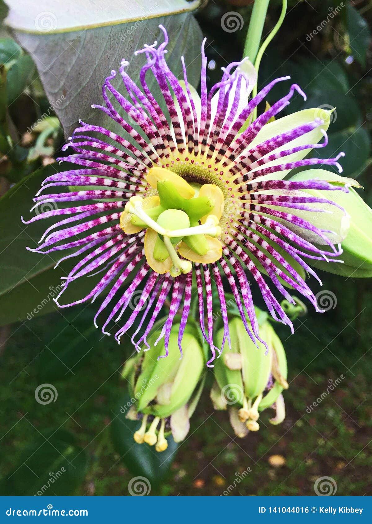 Zamyka w górę Kwitnącego Purpurowego Passionflower
