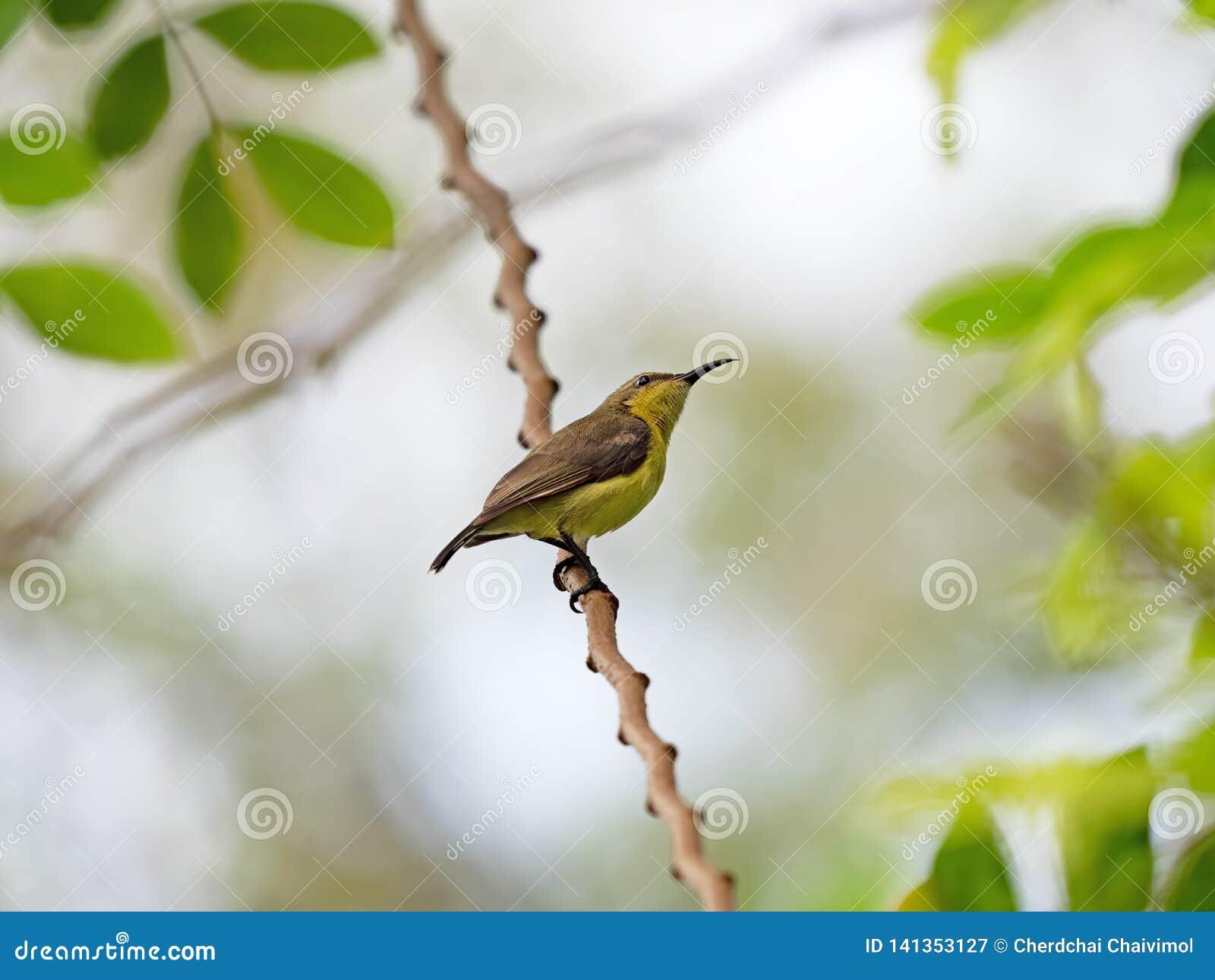 Zamyka w górę popierającego Sunbird Umieszczającego na gałąź Odizolowywającej na tle