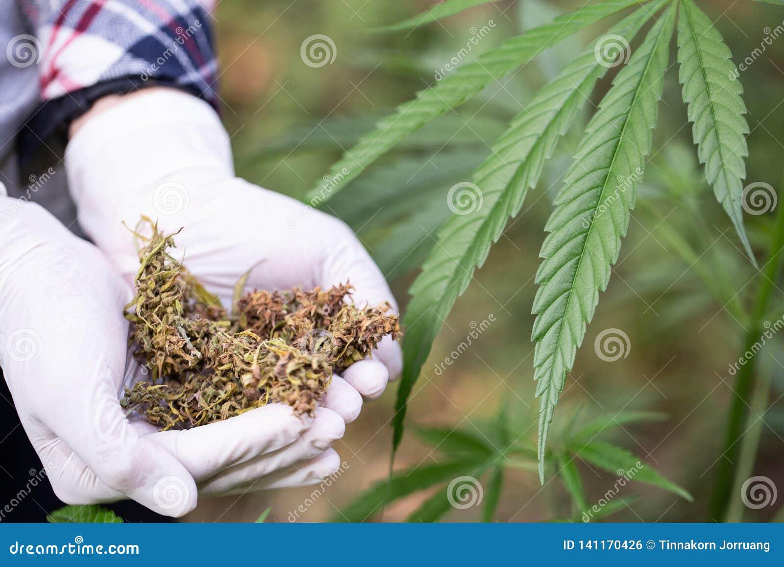 Zamyka w górę ręk trzyma wysuszonej Medycznej marihuany, alternatywna medycyna, Ziołowa marihuana