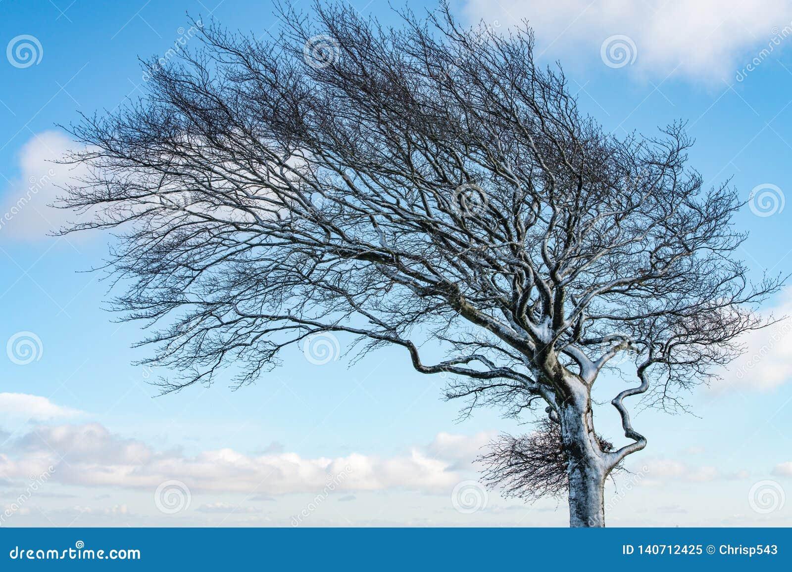 Zamyka w górę wiatrowego dmuchającego śnieg zakrywającego drzewa przeciw niebieskiemu niebu