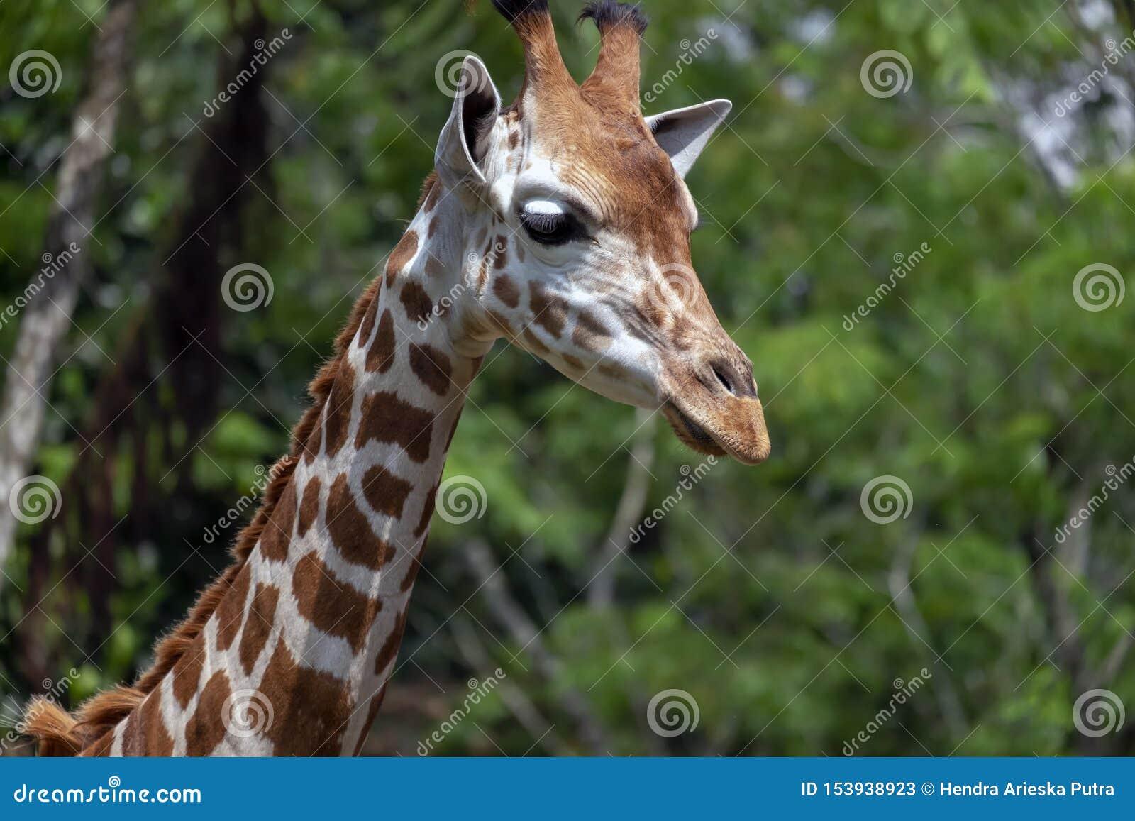 ZAMYKA W GÓRĘ żyrafy głowy Z ZIELONYM tłem