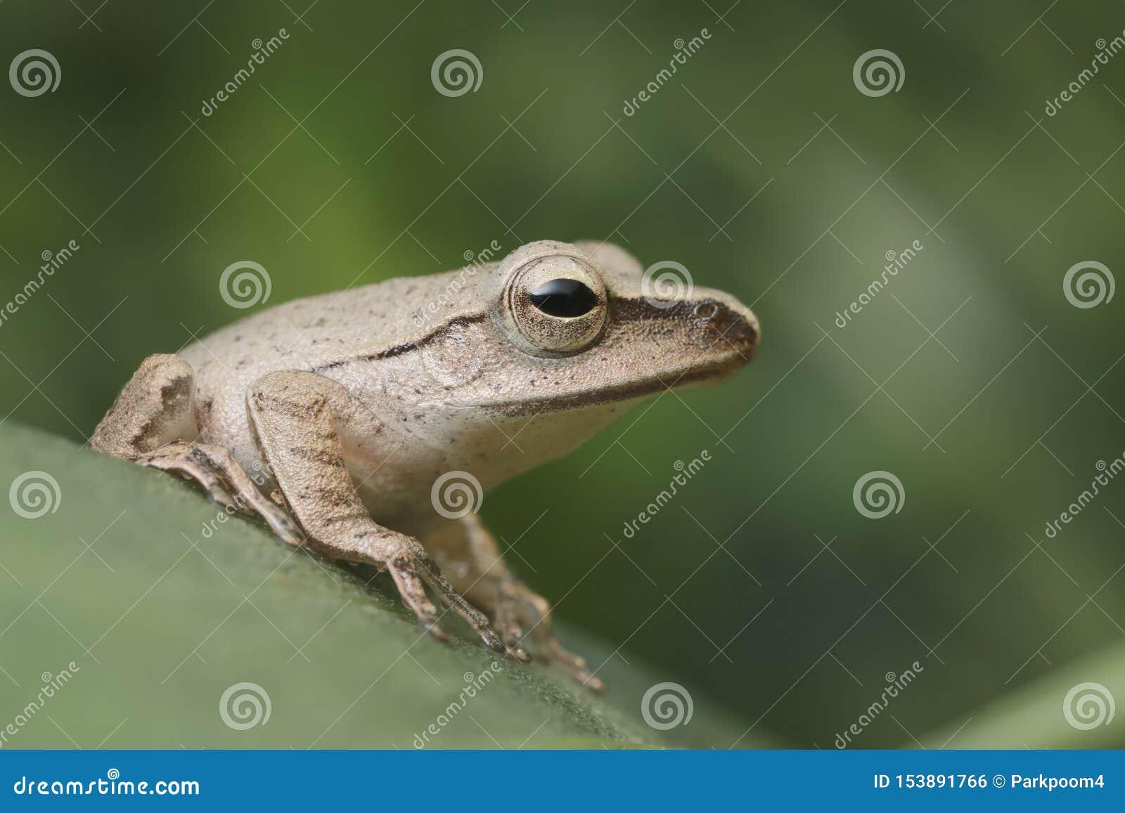 Zamyka w górę brąz żaby na zielonym liściu