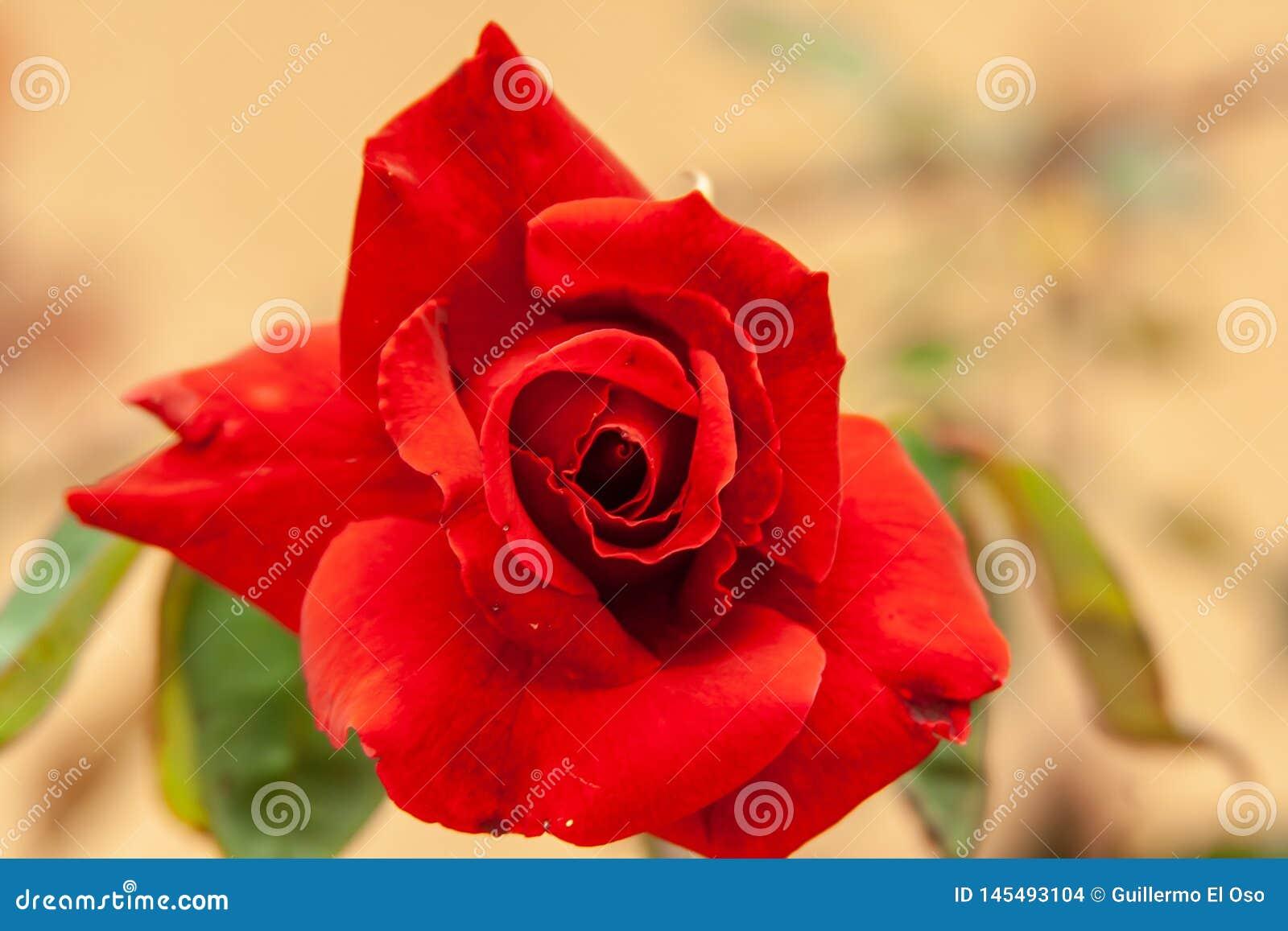 Zamyka w górę czerwieni róży okwitnięcia od