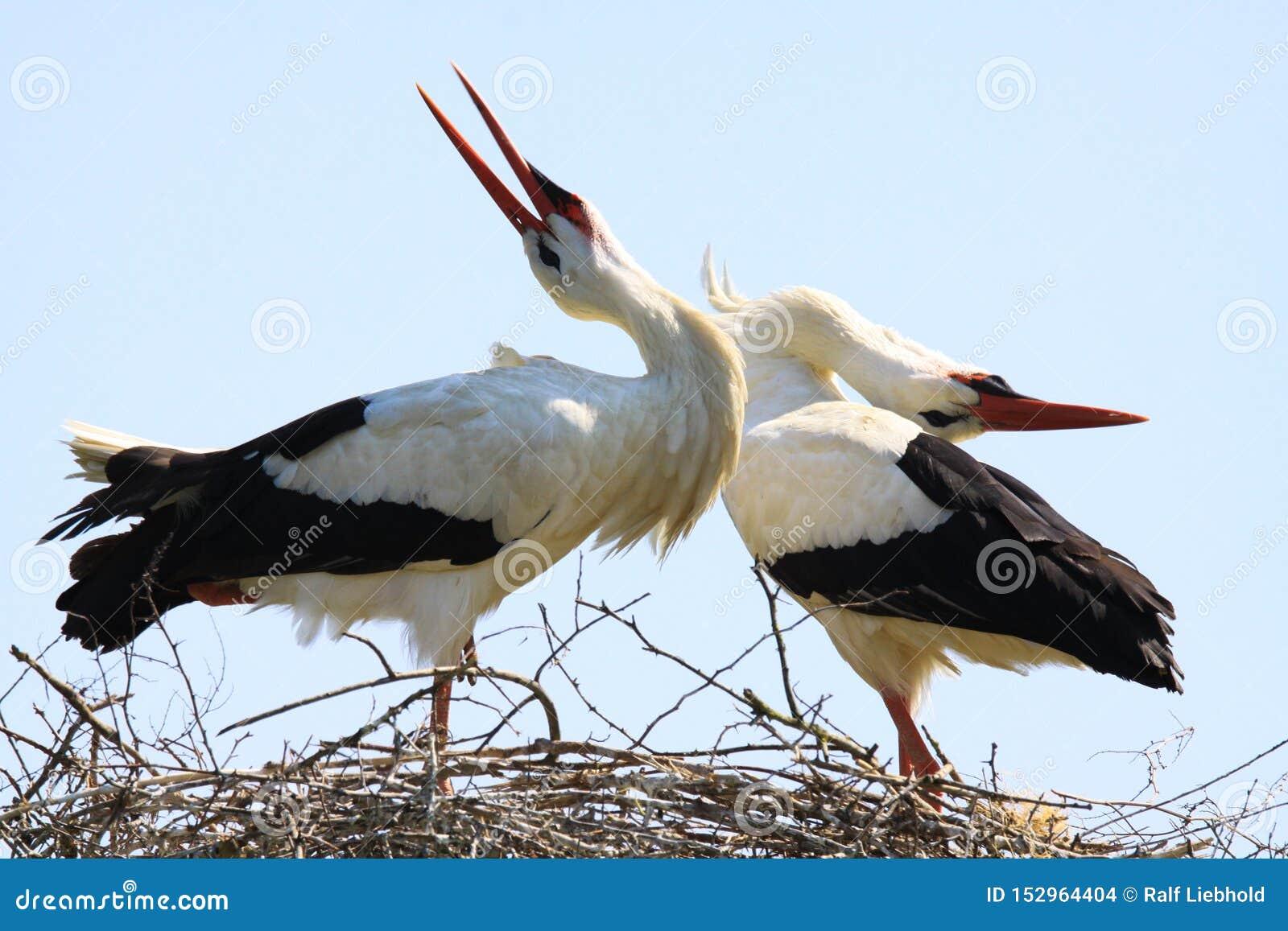 Zamyka w górę dwa białych bocianów Ciconia Ciconia w gniazdeczku na drzewie przeciw niebieskiemu niebu
