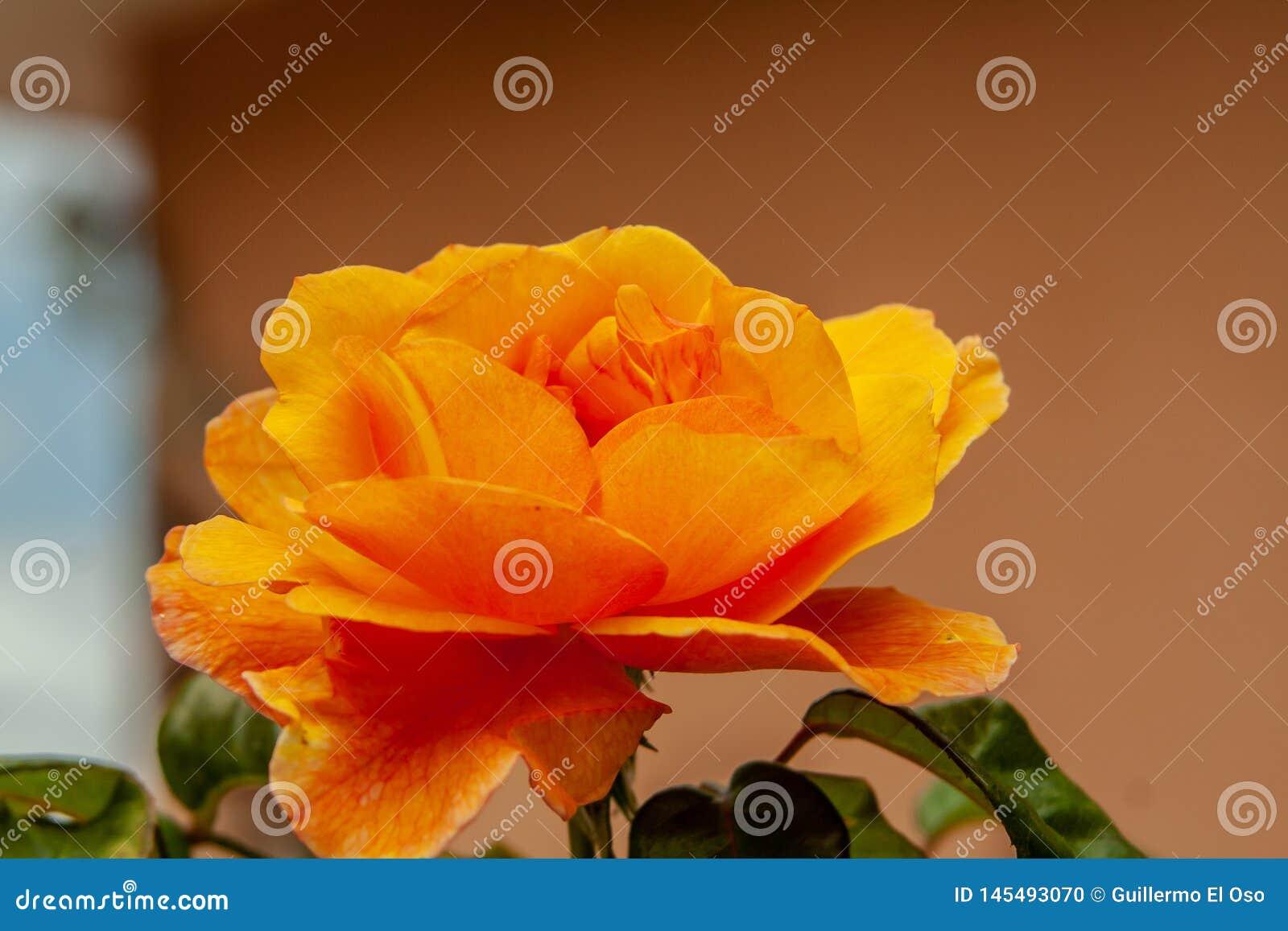 Zamyka w górę fantastycznego pomarańczowego okwitnięcia od