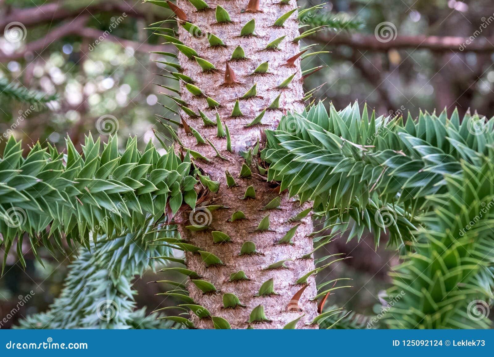 Zamyka w górę fotografia seansu szczegółu bagażnika, korowatych i wiecznozielonych liście małpiej łamigłówki drzewo,