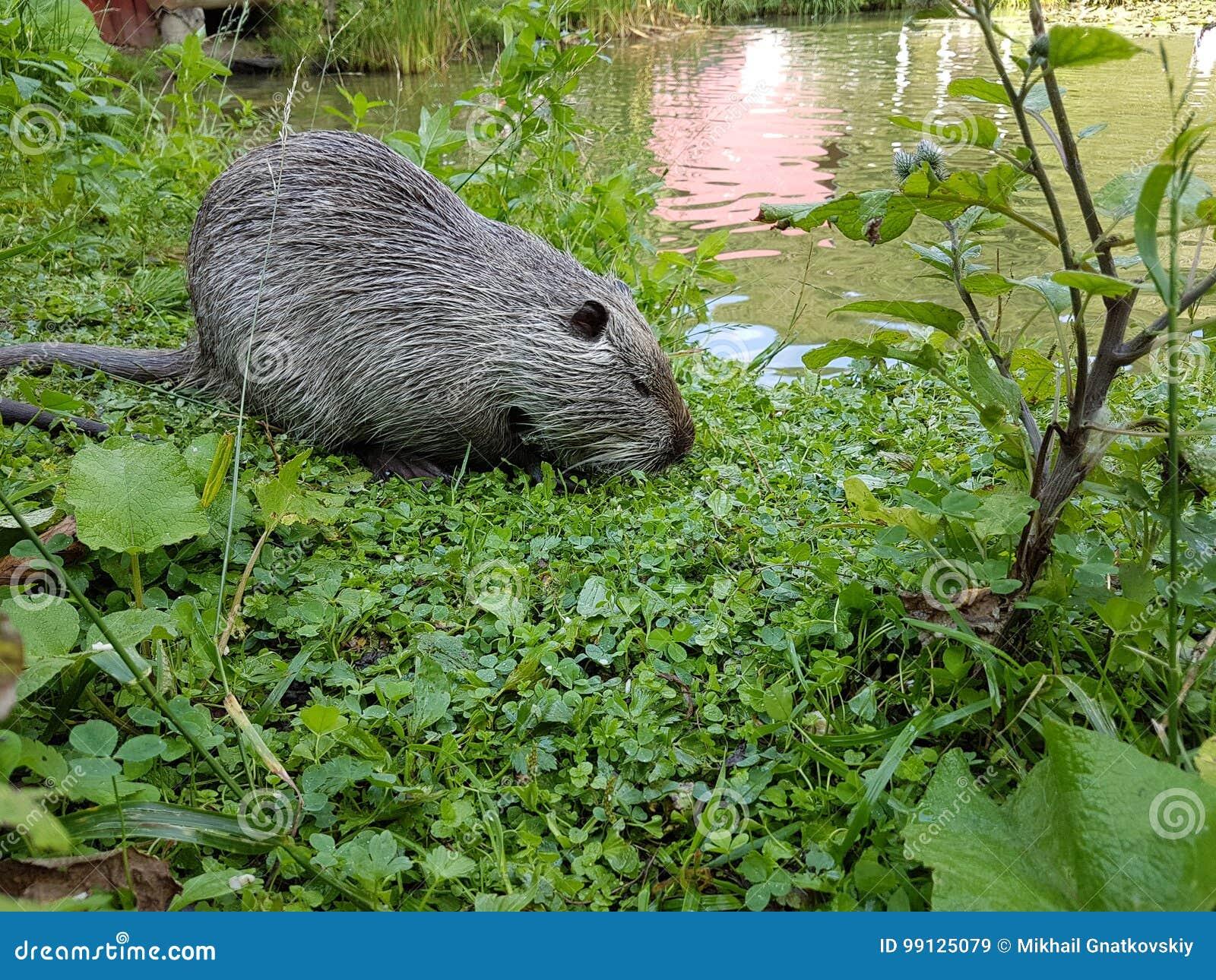 Zamyka w górę fotografii nutrie także nazwany bobroszczur lub rzeczny szczur, przeciw zielonemu tłu